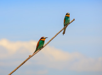 European bee-eater pair perched
