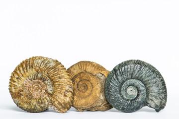 Parkinsonia, Dactylioceras, Orthosphinctes, ammoniti fossili