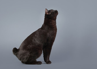Kuril bobtail cat on a gray background
