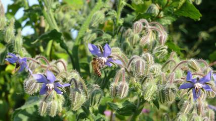 Bienenweide Borretsch