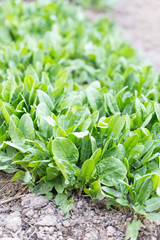 young sprout sorrel