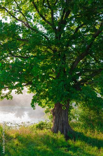 Poster Landschappen Oak tree in full leaf in summer standing alone