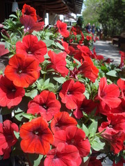 Red petunias in pots, decorating an outdoor cafe