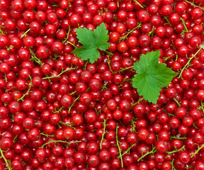 background of red currant berries. top view - horizontal photo.