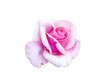 canvas print picture - bright beautiful  pink rose