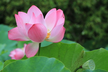 Lotus flowers and seedpod