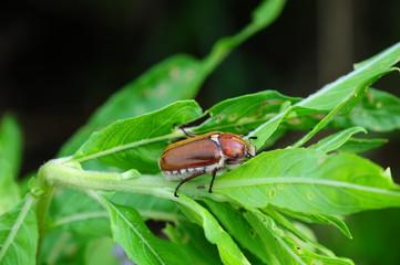 Anoxia villosa - Blatthornkäfer