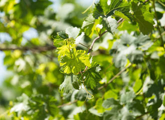 young leaves of the vineyard