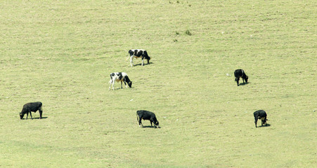 cows on pasture in nature