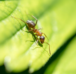ant in nature. macro