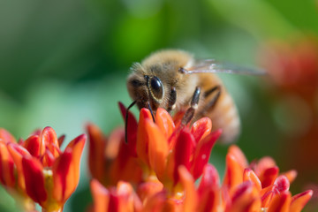 Bee collecting pollen on flowers