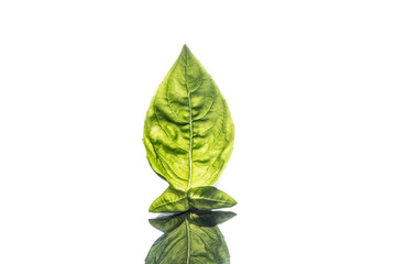 Basil isolated