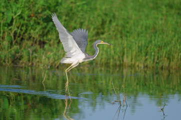 Tri-colored Heron fishing