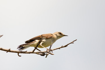 Northern Mockingbird on tree branch