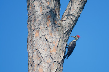 Pileated Woodpecker on a large tree
