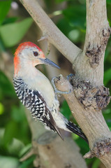 Red-bellied woodpecker on Tree