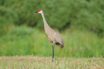 Sandhill crane standing tall