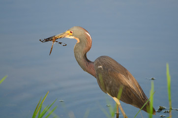 Tri-colored heron with dragonfly
