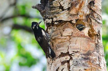 Williamson's sapsucker guarding the nest