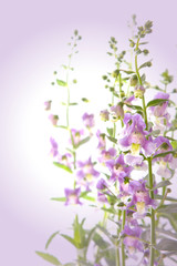 Angelonia goyazensis Benth flower,violet flower background