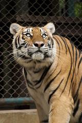 Tiger checking above.