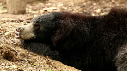 sloth bear sleeping in chiangmai-nightsafari ,chiangmai Thailand