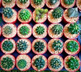 cactus in garden market