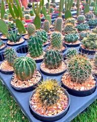 cactus sale