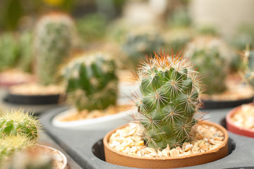 Variety of Cacti in pots