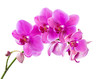 canvas print picture - Orchid