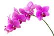 Leinwanddruck Bild - Orchid