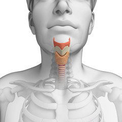 Male throat anatomy