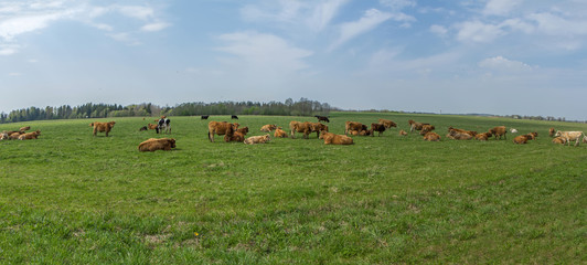 Cattle in the fields
