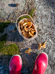 Fresh picked mushrooms in the basket.