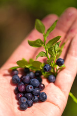 Just picked bilberries in the hand.