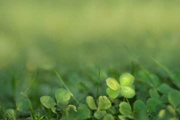 Four leaved fortune clover growing in sunlight on ground