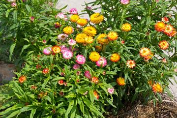 Bunte Strohblumen im Beet