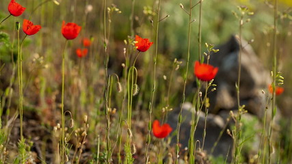Wild poppy flowers in the grass