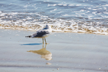 Seagull Walking with Reflection