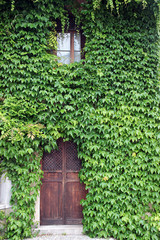 Facade completely overgrown by common ivy