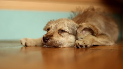 slumbering sad dog lying on a wooden floor