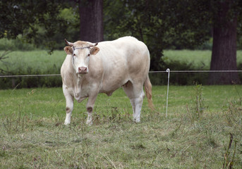 one white cow