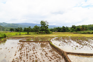 rice field with white cloud