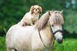 Maltese dog riding grey pony - 67701543