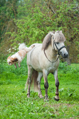 Maltese dog jumps from the back of grey pony