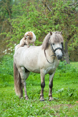 Maltese dog sitting on the back of grey pony