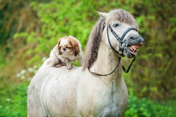Maltese dog sitting on the back of grey smiling pony