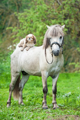 Maltese dog lying on the back of grey pony