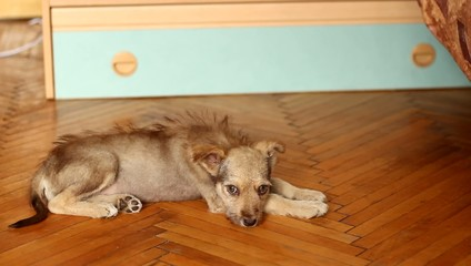 cute puppy mutts shakes his head lying on the wooden floor