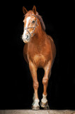 Red horse on black background - 67702360